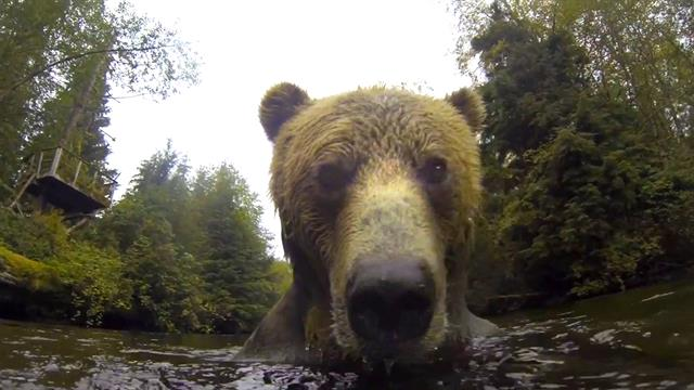 Watch an Extreme Close-up of a Young Bear Playing in a River