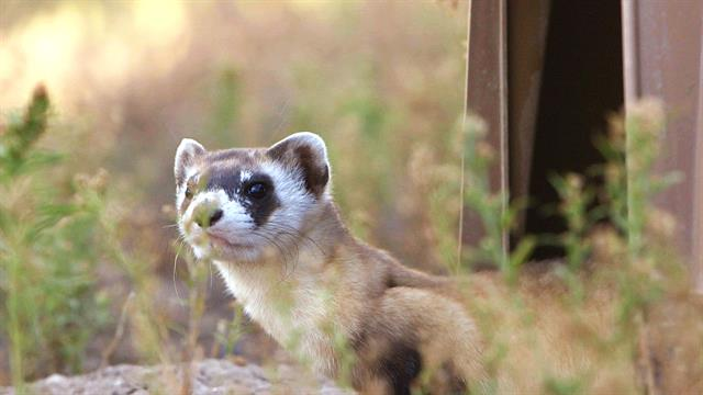 Releasing Ferrets Into Their Prairie Home