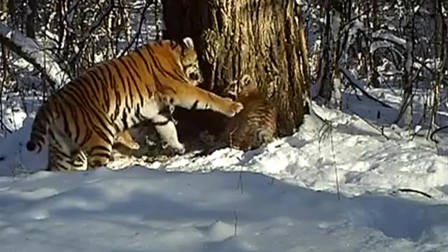 Watch Tiger Mom Shows Cubs The Ropes In Rare Video