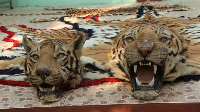 Battling India S Illegal Tiger Trade