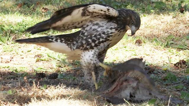 http://news.nationalgeographic.com/2017/07/red-tailed-hawk-adopted-by-bald-eagles-video-spd/