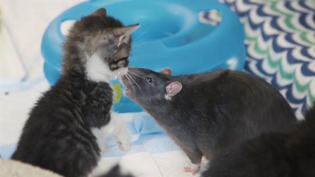 These Cats Have Unlikely Nannies