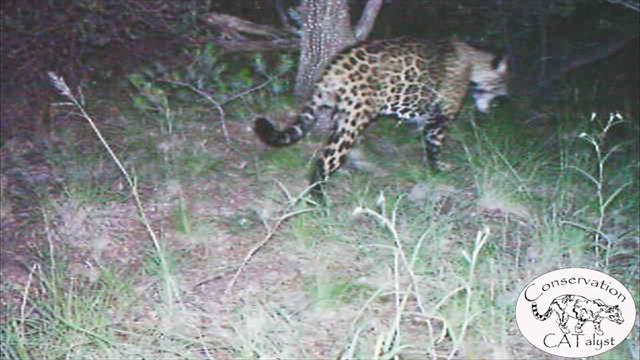Only Known Jaguar In U S Filmed In Rare Video
