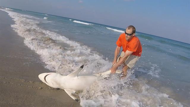 Ver un tiburón rescatado de una línea de Daring bañistas