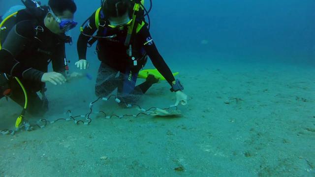 Catching stingrays for Stingray fish tank