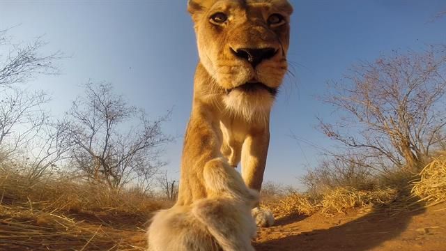 watch this is what happens when a lion steals a gopro