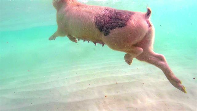 Swimming Pigs Rule This Tropical Island