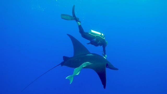 Manta Rays Get Crittercams For First Time Ever