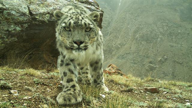 conservation of the snow leopard 2 essay Justine shanti alexander with expertise in: zoology and ecology  we extracted from these papers 274 reports of snow leopard presence in china  as a first step in assessing the potential.