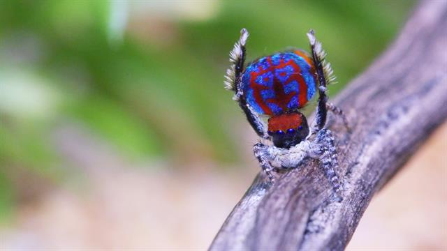 Adorable New Peacock Spiders Will Rock Your World