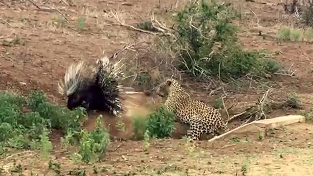 Ver un puerco espín luchar contra un leopardo hambriento