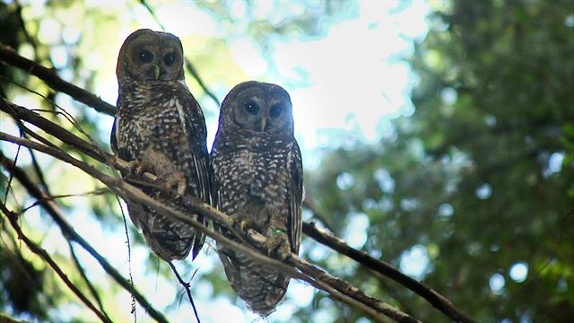 a barred owl vs the history Barred owl owlwatchorg search history the barred owls in august 1992 we moved into our very rural home.