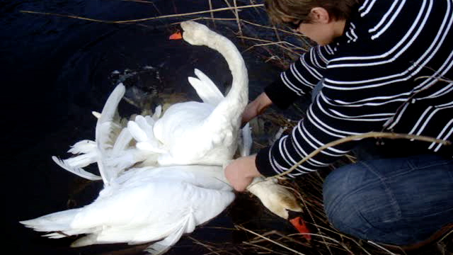 Watch People Rescue Entangled Swans How Did It Happen