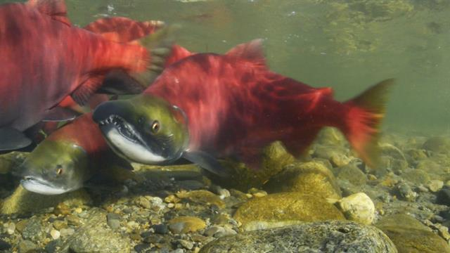 salmon single parents Who are the missing parents grandparentage analysis  23% of pacific salmon stocks are at moderate to  ences to individuals that are missing a single parent, as.