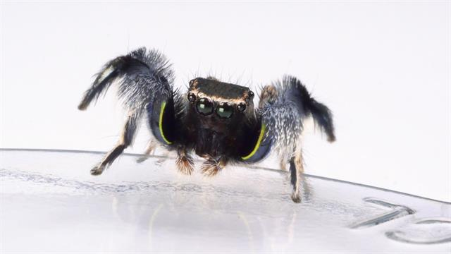 Nw Dly Ds Male Jumping Spider Deadly Mate Vin X on Dance Border