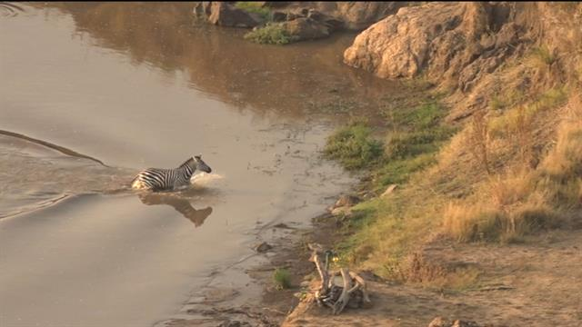 Zebra Escapes a Crocodile Only to Meet Another Surprise