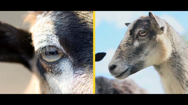 how do rectangular pupils help goats survive