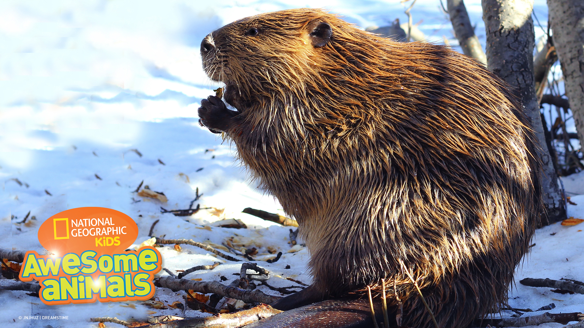 awesome animals s1e7 beaver jpg