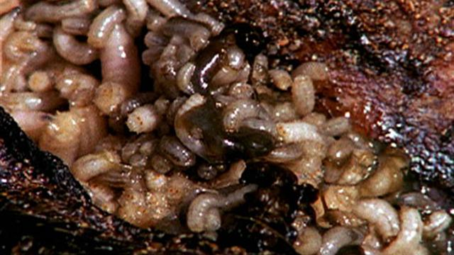 maggots in people - photo #45