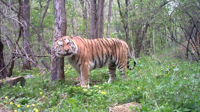animal poaching tigers - photo #39