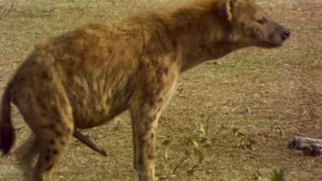 Spotted hyena clitoris