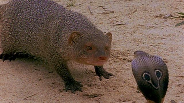 Cobra vs  Mongoose