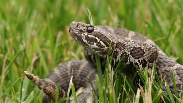 Mysterious Disease Attacks Rattlesnakes