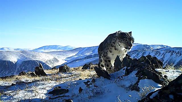 stunning rare footage reveals elusive snow leopards in russia