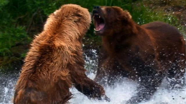 Curiosidades del oso Grizzly, el oso más peligroso