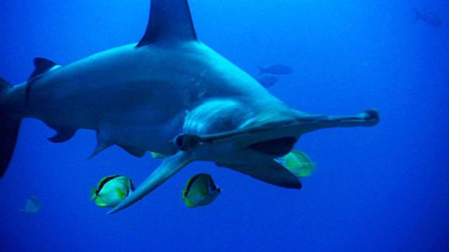58086 1 1280x720 640x360 177577027564 jpgHammerhead Shark Eating Fish