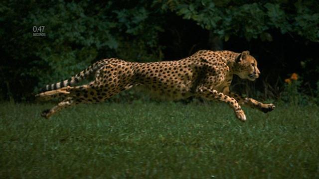 Jaguar Animal Running
