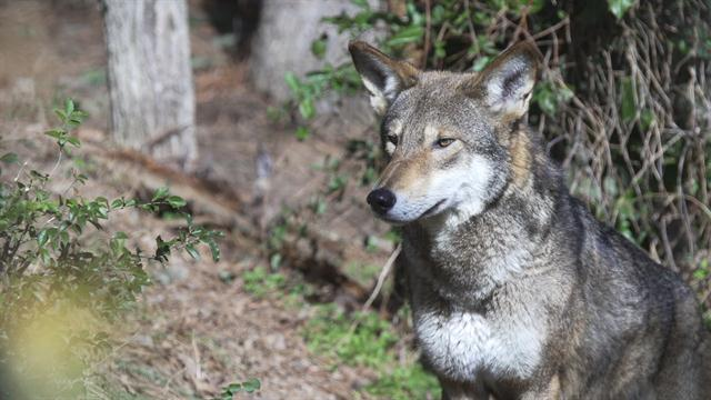 reintroduction of the wolf Learn about the size, diet, population, range, behavior and other fascinating facts about mexican gray wolves.