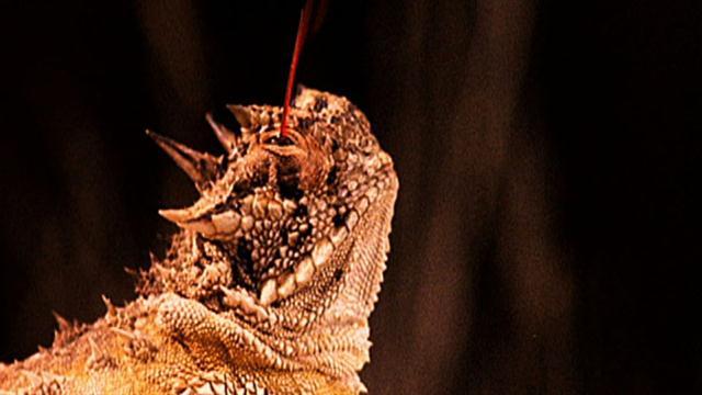 Hasil gambar untuk pertahanan Texas Horned Lizard