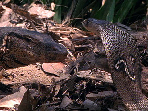 Image Gallery komodo dragon vs snake