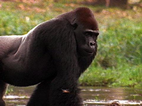 the orangutan bonnie versus chimpanzees Orangutan facts, photos and videos orangutans are climbing machines with feet that have a grip 4 times that of a human the chimpanzee is an organized hunter.