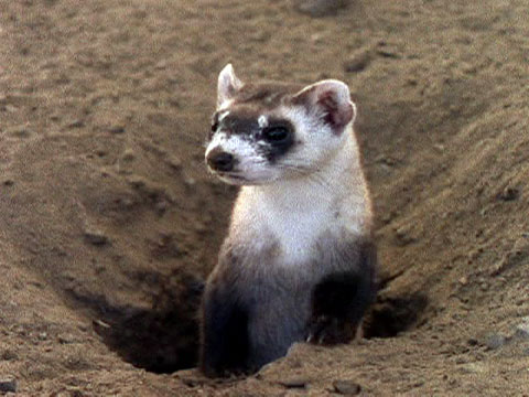 Black Footed Ferret National Geographic Kids