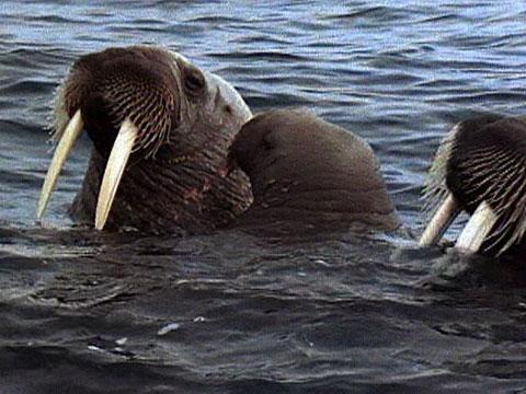Animal Mothers Walrus Cuddle