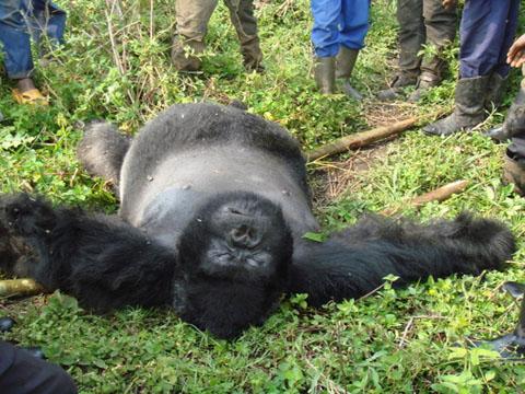 gorillas executed in congo park