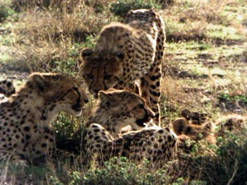 Cheetah life cycle chart - photo#21