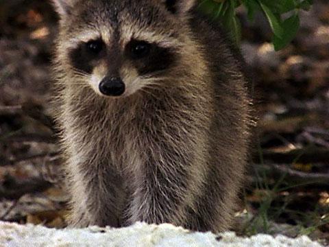Raccoon Video Raccoon