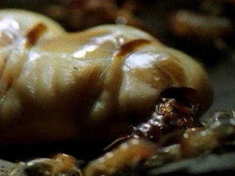 Lifestyle of the Termite Queen Queen Termite Anatomy