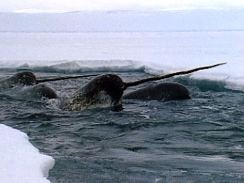 Dolphin With Horn Narwhals