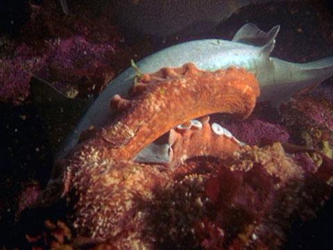Mega Shark vs. Giant Octopus (Video 2009) - IMDb