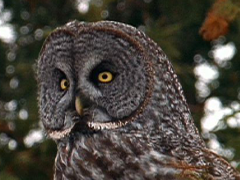 Nocturnal Animals Owl
