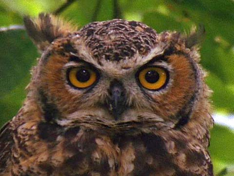 owl-great-horned-kids_480x360.jpg