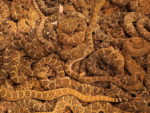 a pile of rattlesnakes