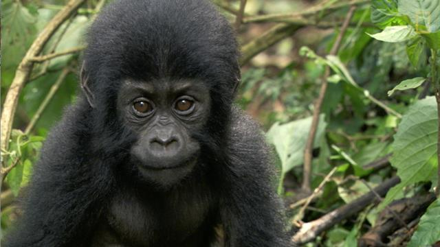 A Baby Gorilla's Mom Was Killed, So This Woman Raised Him