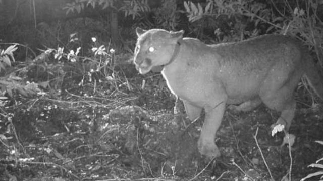 Listen  Cougars Are Terrified of Human Chatter 9442793f9