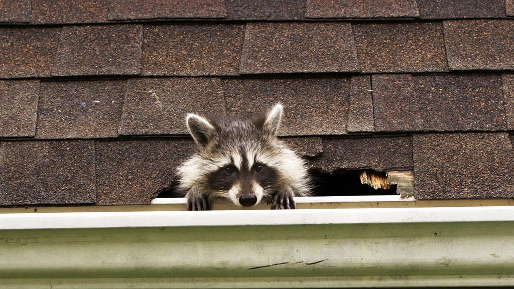 Watch: How to Kick Raccoons Out of Your House—Humanely
