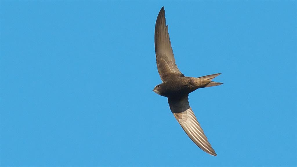 These Birds Fly Almost a Year Without Landing